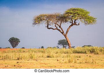 Acacia trees on savanna, East Africa - Acacia trees on...