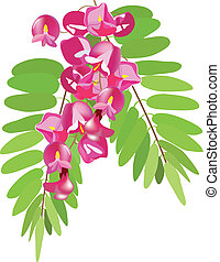 acacia with leaves, acacia pink, ac