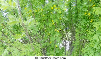 Acacia yellow shrub - Acacia blooming yellow shrub on the...