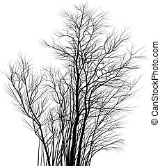 Acacias, a group of young trees