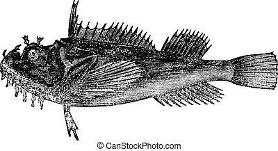 acadianus), gravure, vendange, (hemitripterus, commun, mer, corbeau