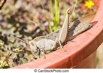 Acanthacris ruficornis grasshopper on the edge of a pot