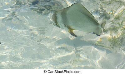 ACANTHURUS TRIOSTEGUS, Convict surgeonfish. Indian Ocean near the Seychelles.