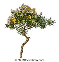 Accacia tree on sky background