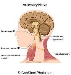 Accessory nerve, eps8