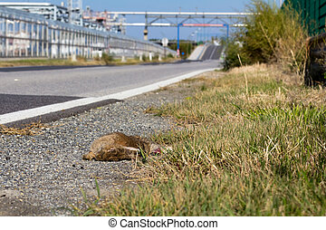 A dead hare next to a road in austria having been caught by a car