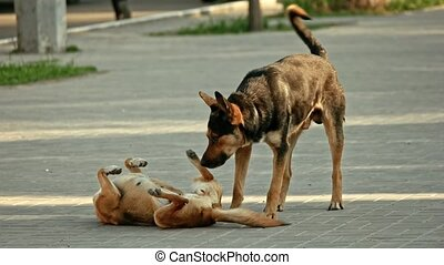 accouplement, chiens