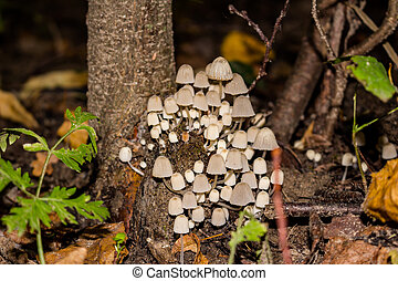 Accumulation of fungus Fairy inkcap (commonly known as trooping crumble cap, Coprinellus disseminatus, Coprinus disseminatus), growing on a stump