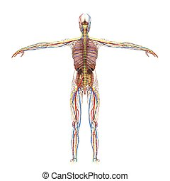 accurate Female Anatomy