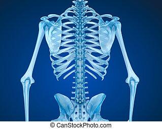 accurato, chest., illustrazione, medically, skeleton:, seno, umano, fronte, vista., 3d