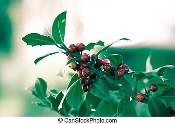 acebo, arbusto, con, bayas rojas, con, defocused