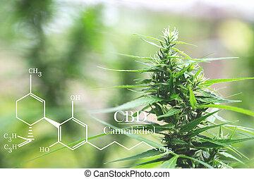 aceite, médico, investigar, cannabinoids, cbd, elementos, ...