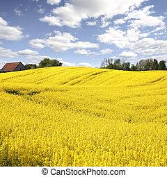 aceite, primavera, amarillo, temprano, campo, semilla,...
