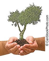 aceituna, árbol, regalo, Manos
