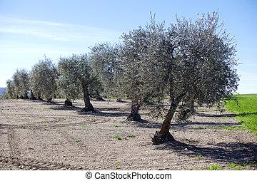 aceituna, árboles, rayado