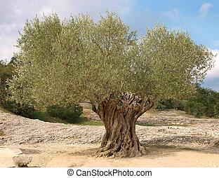 aceituna, antiguo, árbol