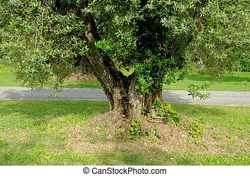 aceituna, tronco, árbol, 05
