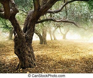 aceituna, viejo, árboles