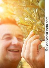 aceitunas, cosecha, en, otoño