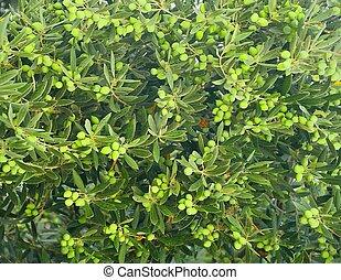 aceitunas verdes, árbol