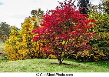 (acer, automne, palmatum), japonaise, couleurs, érable