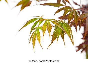 (acer, feuillage automne, palmatum), feuilles, arbre, isolé...