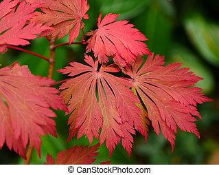 Acer Japonicum Aconitifolium Leaves