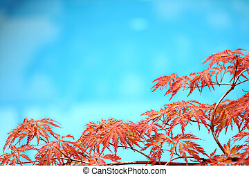 Acer japonicum tree on the pool background