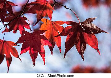 Acer leaves in autumn