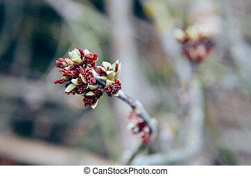 Acer negundo Box elder, boxelder maple, ash-leaved maple flower blooming in early spring