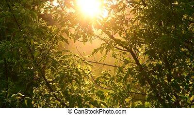 Acer negundo - maple in rays of setting sun