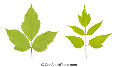 Acer negundo or American maple leaves isolated on white background