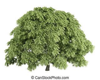 acer, ou, érable, palmatum