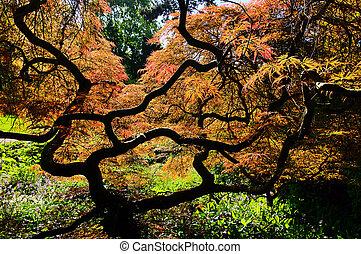 Acer palmatum 01