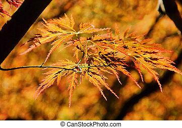 Acer palmatum 02