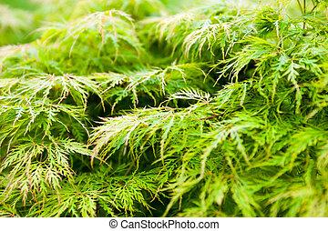 (acer, palmatum), feuilles, japonaise, vert, érable