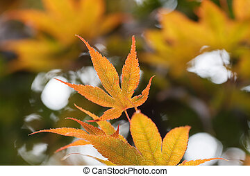 acer palmatum, yellow-orange coloured leaf of an Japanese Maple