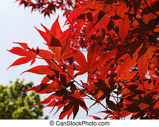Japanese Maple, Smooth Japanese Maple in May, Germany