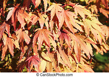 Acer palmatum ( Japanese maple) leaves turning red in the autumn fall