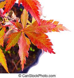 Leaves of Acer Palmatum over white background