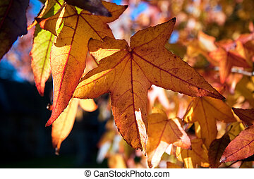 Acer (palmatum) leaves turning gold in the autumn