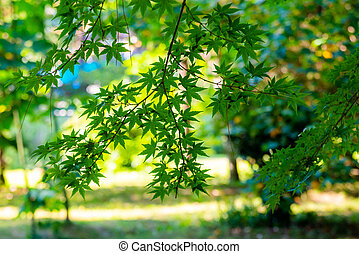 Acer palmatum or palm-shaped maple budding in a park at summer
