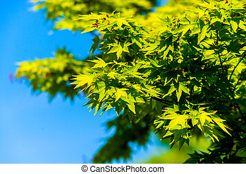 Acer palmatum or Palm-shaped maple budding in the spring. Leaves of tree on sunlight