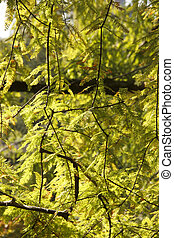 Acer palmatum Thunb leaves in sunlight.The plant naturally grows in Japan, Korea and China