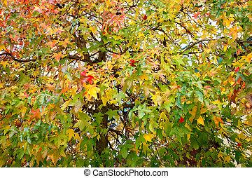 Acer platanoides (Species) Autumn foliage pattern