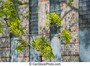 Flowering branch maple against the backdrop of a brick wall