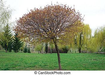 "Acer platanoides ""Globosum"""
