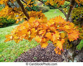 Acer Shirasawanum cv Aureum in Autumn Colours
