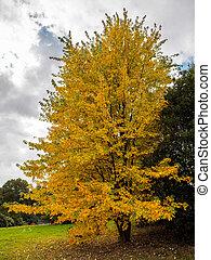 Acer Soccharinum Tree in Autumn