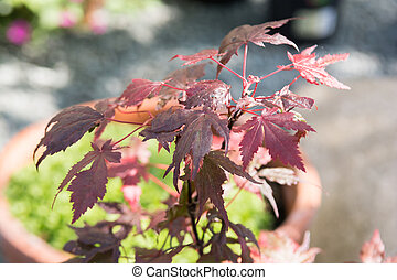 Acer tree with red maple leaves in a garden